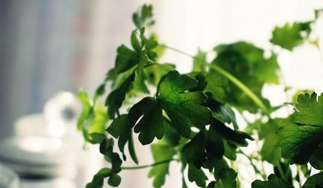 cilantro healthy herb cooking