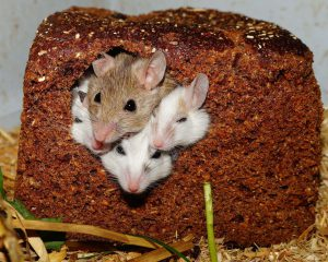 four mice poking their heads through a hole of a slice of bread.