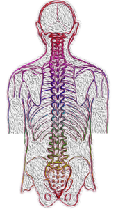 Drawing of the spine and skeleton of the human back.