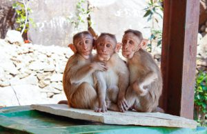 three monkeys sitting next to each other.