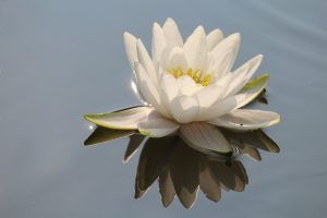 white lily floating in water