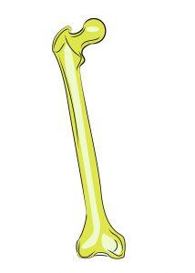 illustration of a femur bone
