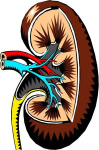 the anatomy of the inside of a kidney.