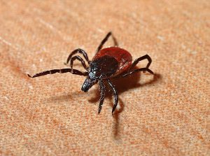 a brown and black deer tick