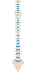 picture of a skeleton's spine